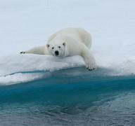 Polar_bears_5